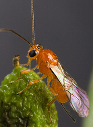 The parasitoid Psyttalia cf. concolor: Click here for full photo caption.