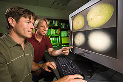 Photo: Agricultural engineers Eric Jackson (left) and Ron Haff examine x-ray images of olives. Link to photo information