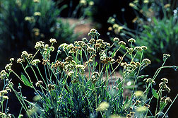 Guayule: Click here for photo caption.