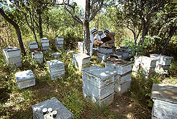 Honey bee hives like these may one day be helped by ozone applications, which can degrade pesticide residues: Click here for photo caption.