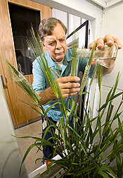 Inside a growth chamber, molecular biologist uses an immersion technique to inoculate barley seed spikes with spores from a strain of Fusarium graminearum: Click here for full photo caption.