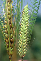 Healthy resistant barley (right) and susceptible barley showing symptoms of Fusarium head blight (left): Click here for photo caption.