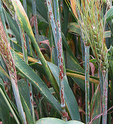 In Njoro, Kenya, a barley infected with stem rust: Click here for photo caption.