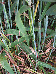 In Njoro, Kenya, a barley that is resistant to stem rust: Click here for photo caption.