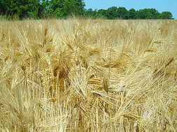 Hulled winter barley ready for harvest: Click here for photo caption.