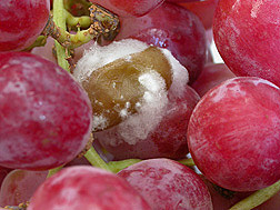 Gray mold, Botrytis cinerea, on grapes: Click here for photo caption.