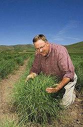 In Blue Creek, Utah, geneticist examines Snake River wheatgrass in a nursery plot used to identify plants with good persistence, biomass, and seed production: Click here for full photo caption.