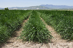 Scientists at the Forage and Range Research Laboratory in Logan, Utah, have developed Hycrest II crested wheatgrass: Click here for full photo caption.