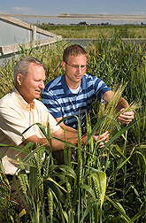 Plant pathologist (left) and molecular biologist examine wheat plants from the National Small Grains Collection in a stem rust screening plot at Aberdeen, Idaho: Click here for full photo caption.