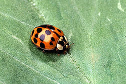 The Asian lady beetle, Harmonia axyridis, is repelled by the catnip compound nepetalactone: Click here for photo caption.