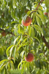 Photo: Peaches on the tree. Link to photo information