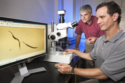 Entomologists observe beneficial nematodes (Steinernema carpocapsae) that are used to control the lesser peachtree borer: Click here for full photo caption.