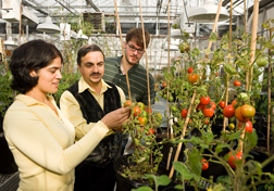 In a Beltsville, Maryland, greenhouse, plant physiologist (center) points out features of a genetically improved tomato line to postdoctoral fellow (left) and biological technician: Click here for full photo caption.