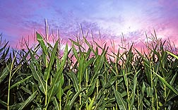 Photo: A field of corn. Link to photo information