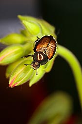 Photo: A Japanese beetle (Popillia japonica) on a flower bud. Link to photo information