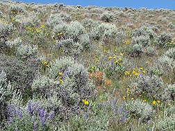 A diverse, functioning rangeland ecosystem with desirable shrubs, perennial grasses, and forbs can help prevent invasive plants from becoming established and taking over: Click here for photo caption.
