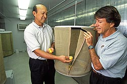 Center director Dennis Gonsalves (left) and entomologist Roger Vargas expose fly-infested guavas to parasitic wasps: Click here for full photo caption.