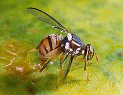 A female Oriental fruit fly, Bactrocera dorsalis, lays eggs by inserting her ovipositor in the skin of a papaya: Click here for full photo caption.