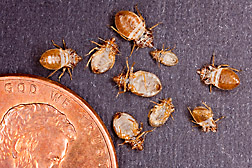 Shed bed bug skins are shown next to a penny to give a sense of scale of the size of the bugs. Link to photo information