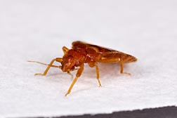 An adult bed bug, Cimex lectularius, is roughly 4 mm in length: Click here for full photo caption.