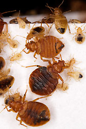 "Both adult and immature bed bugs produce defensive compounds referred to as ""alarm pheromones."": Click here for full photo caption."