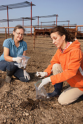 Technician Sandy Fryda-Bradley (left) and microbiologist Lisa Durso collect fecal pats from a feedlot pen: Click here for full photo caption.