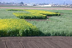 A field test site in Salinas, California, showing a checkerboard of different cover crop treatments being tested, including mustard (yellow flowers), rye, and fallow: Click here for photo caption.