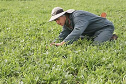 In a field planted with a cover crop mixture, horticulturalist Eric Brennan counts the number of plants of each species in the mixture to determine plant density: Click here for full photo caption.