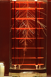 A sorghum plant growing in a newly devised hydroponics growth cylinder system used for analyzing root system architecture of large cereal crops under an array of nutrient and stress regimes: Click here for photo caption.