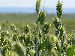 Photo: A close-up of Cara, a new white winter club wheat, growing in a field. Link to photo information