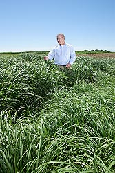 In a biomass energy evaluation test, agronomist Rob Mitchell evaluates midsummer growth of various switchgrass strains: Click here for photo caption.