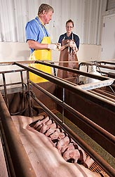 At Clay Center, Nebraska, physiologists Jeff Vallet and Lea Rempel examine a piglet: Click here for full photo caption.