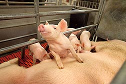 Creatine plays a significant role in energy metabolism that has been shown to have an effect on the survival of newborn piglets until they're weaned: Click here for photo caption.
