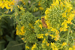 A honey bee foraging on rapini flowers. Link to photo information