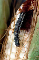 Corn earworm. Click here for full photo caption.