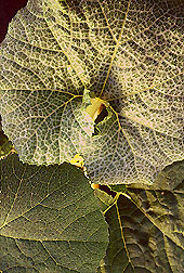 Whitefly-infested sugar pumpkin leaf