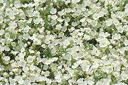 Close-up of meadowfoam.