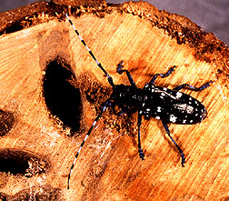 Photo: Asian longhorned beetle, Anoplophora glabripennis, shown on a cross-section of a tree it has damaged. Link to photo information