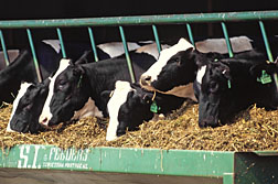 Photo: Holstein cows. Link to photo information