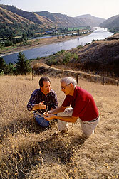 Entomologists inspect yellow starthistle for evidence of weevil damage. Click here for full photo caption.