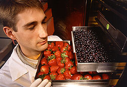 Fruits are freeze-dried by a technician for feeding in experimental fat diets. Click here for full photo caption.