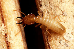 Photo: A Formosan subterranean termite soldier. Link to photo information