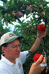 Entomologist Michael McGuire examines biodegradable pesticide-treated spheres in an apple orchard. Click here for full photo caption.