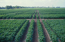 Standard wide-row cotton growing among UNR cotton. Click here for full photo caption.