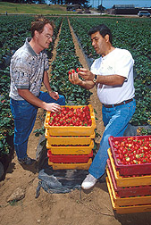 Photo: Soil scientist Husein Ajwa (right) and postdoctoral research associate Shad Nelson inspect strawberries from a test plot. Link to photo information