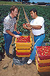 Husein Ajwa (right) inspects strawberries from a test plot.