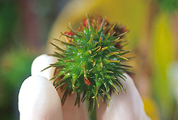 Photo: A castor bean pod. Link to photo information