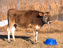 Annie, the first transgenic cow clone engineered to resist mastitis: Link to photo information