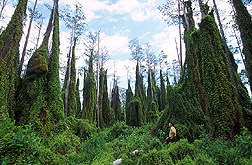 Entomologist observes climbing fern on cypress trees: Click here for full photo caption.