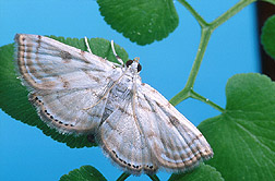 A female moth: Click here for full photo caption.